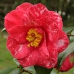 Camellia japonica 'Eleanor Martin'