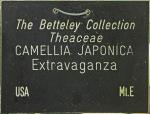 Camellia japonica 'Extravaganza'