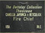 Camellia 'Fire Chief'