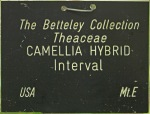 Camellia hybrid 'Interval'