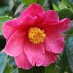 Camellia hybrid 'Interval' (1P-016)