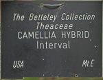 Camellia hybrid 'Interval' (1P-017)