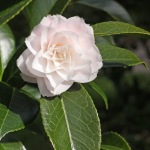 Camellia japonica 'Kitty'