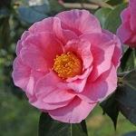 Camellia hybrid 'Lasca Beauty'