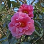Camellia hybrid 'Lasca Beauty' (1P-021)