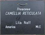 Camellia 'Lila Naff'