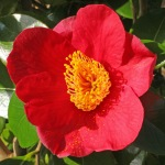 Camellia japonica 'Merry Christmas'