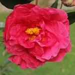 Camellia reticulata 'Ming Temple'