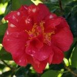 Camellia japonica 'Miss Charleston'