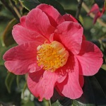 Camellia japonica 'Mrs Bertha A. Harms'