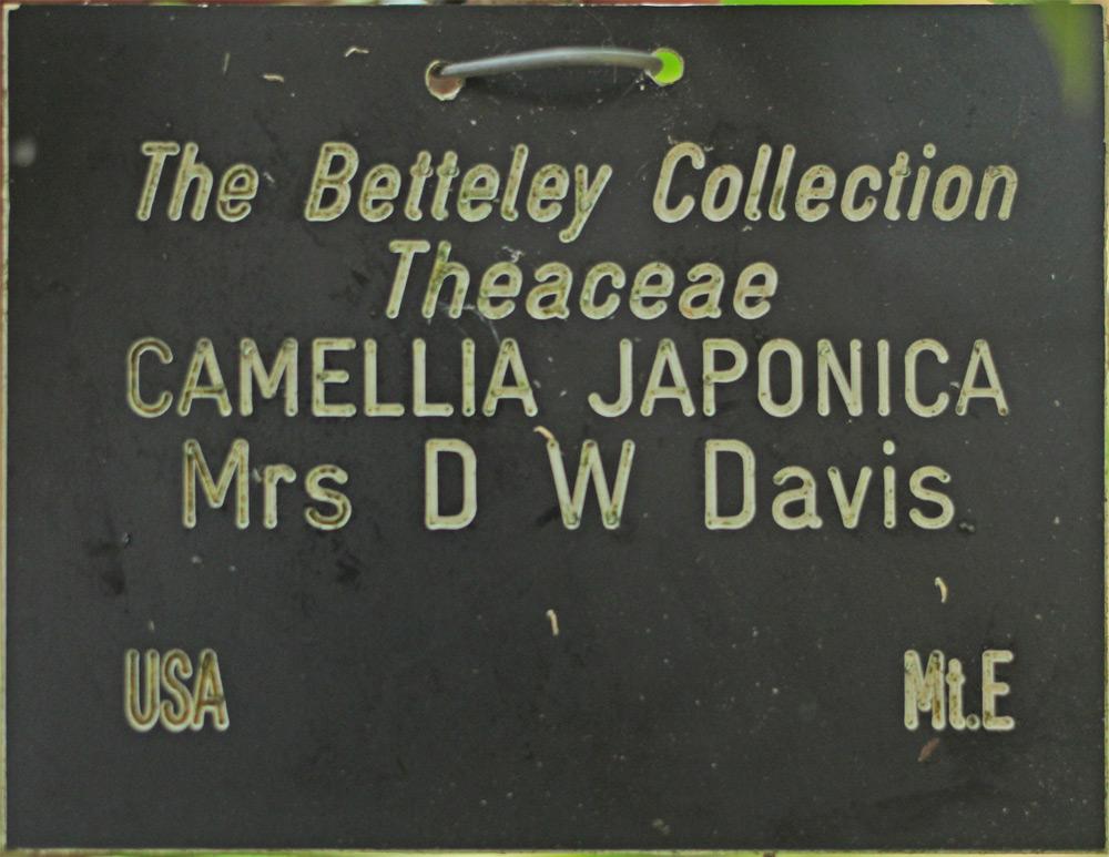 Camellia japonica 'Mrs D. W. Davis'