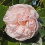 Camellia japonica 'Mrs D. W. Davis Descanso'