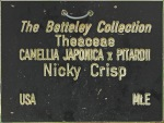 Camellia 'Nicky Crisp'