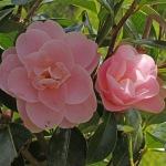 Camellia hybrid 'Nicky Crisp'