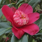 Camellia japonica 'Peter Betteley'