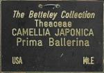 Camellia japonica 'Prima Ballerina'