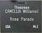 Camellia x williamsii 'Rose Parade'