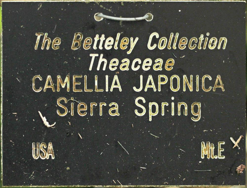Camellia japonica 'Sierra Spring'