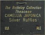 Camellia japonica 'Silver Ruffles'