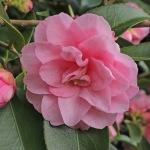 Camellia 'Spring Festival'