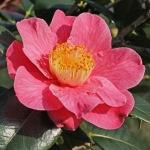 Camellia japonica 'Spring Sonnet'