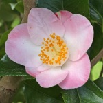 Camellia japonica 'Sunny Side'