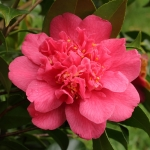 Camellia japonica 'Tama Beauty'