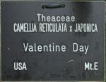 Camellia 'Valentine Day'