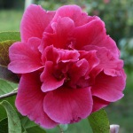 Camellia reticulata 'William Hertrich'