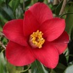Camellia japonica 'Adeyaka'