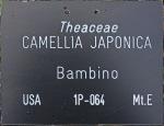 Camellia japonica 'Bambino'
