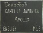 Camellia japonica 'Apollo'