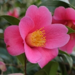 Camellia x williamsii 'Caerhays Best'
