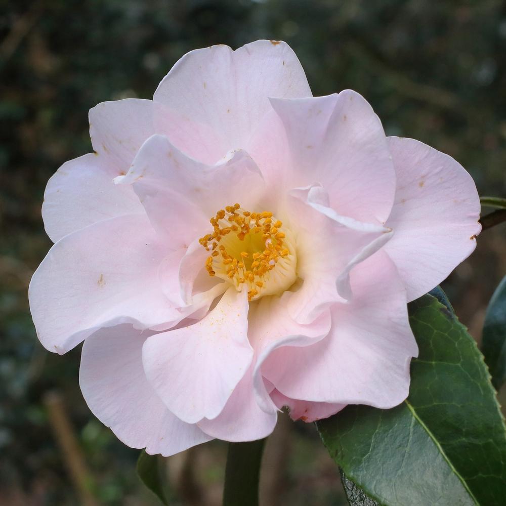 Camellia x williamsii 'Citation'