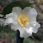 Camellia x williamsii 'Coppelia Alba'
