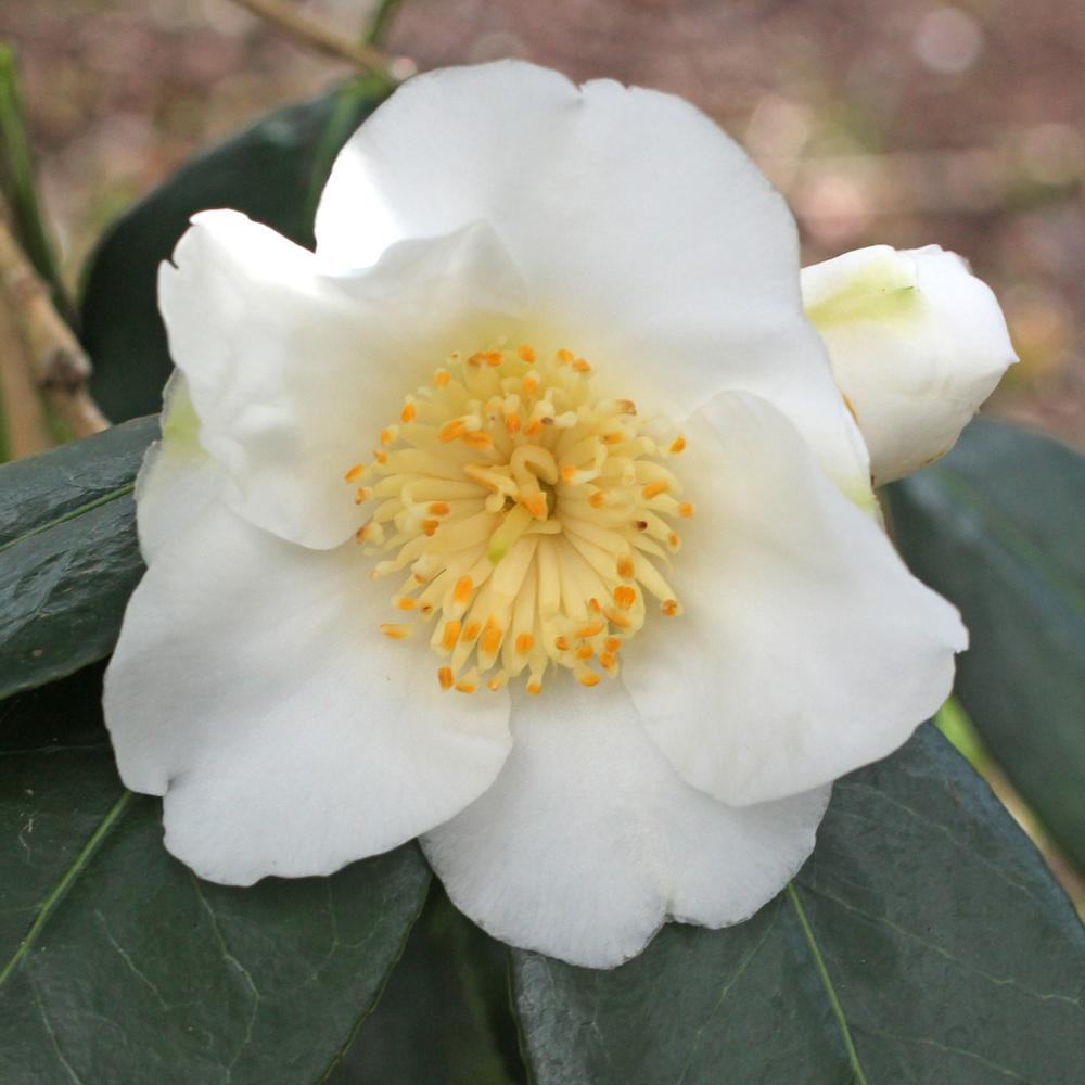 Camellia x williamsii 'Coppelia Alba'