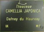 Camellia japonica 'Daphne du Maurier'