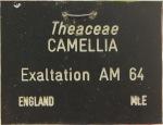 Camellia Exaltation AM 64