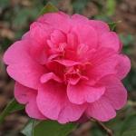 Camellia x williamsii 'George Blandford'