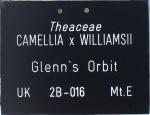 Camellia x williamsii 'Glenn's Orbit'