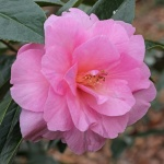 Camellia x williamsii 'Glenn's Orbit'