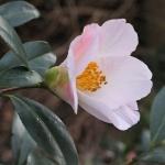 Camellia x williamsii 'Hiraethlyn'