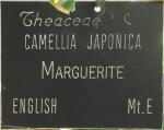 Camellia japonica 'Marguerite'