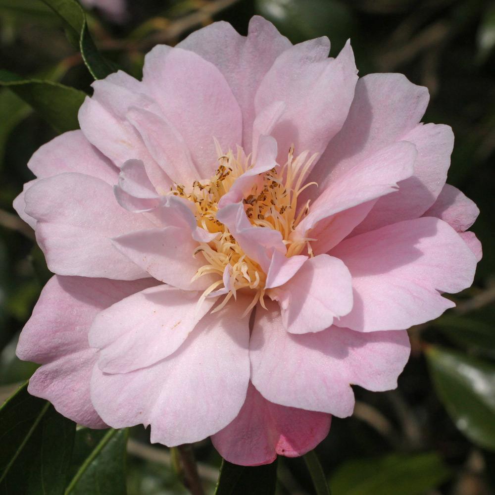 Camellia hybrid 'Salutation'