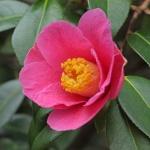 Camellia x williamsii 'St Ewe'
