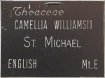 Camellia x williamsii 'St Michael'