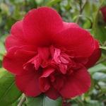 Camellia japonica 'Althaeiflora'