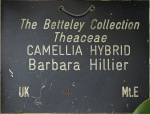 Camellia 'Barbara Hillier'