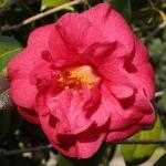 Camellia japonica 'Blackburnia'