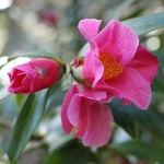 Camellia x williamsii 'Bow Bells'